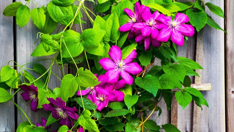 best plants for fence line - pink clematis growing up a weathered wooden fence