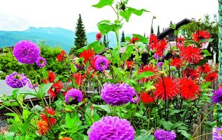 After years in the doldrums, the dahlia has become popular again.