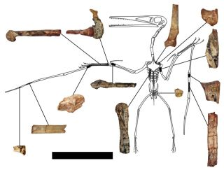 pterodactyloid fossil