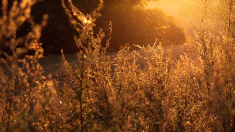 Summer grasses with pollen during sunset