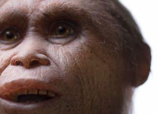 A reconstruction of <i>Homo floresiensis</i> by Atelier Elisabeth Daynes.