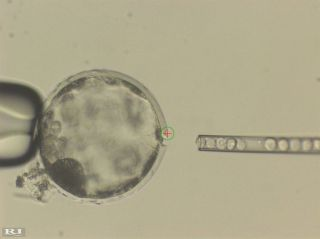 An image of human stem cells being injected into a pig embryo.