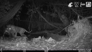 Black and white image shows a jaguar carrying an ocelot by the neck away from a watering hole