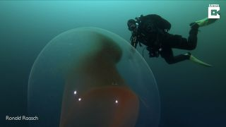 Divers encountered the giant, gelatinous blob off the coast of Norway.