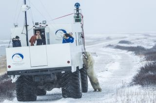 polar bear near tundra buggy