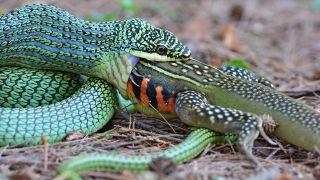 A golden tree snake (Chrysopelea ornata) is eating a butterfly lizard (Leiolepis belliana).