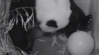 The 15-year-old female panda Mei Xiang gave birth to a cub on Aug. 23, 2013, immediately cradling the little one.
