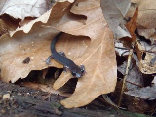 An image of a salamander