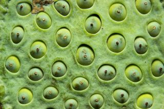 Lotus seed pods notoriously trigger the heebie-jeebies in people with trypophobia, a fear of clustered holes.