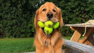 Finley the Golden Retriever with six tennis balls in his mouth