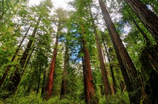 Redwood trees in California's Big Basin Redwoods State Park