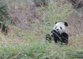 Giant panda in Wolong