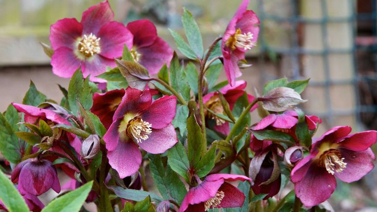 how to grow hellebores: pink hellebores