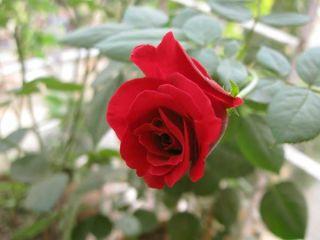 red-rose-flower-110211-02