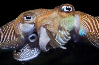 Last year's contest winner captured two cuttlefish mating.