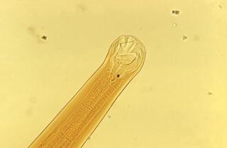 Ancylostoma braziliense, hookworm