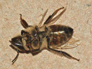 fly honeybee