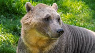 A 'pizzly' bear in captivity.