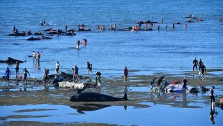 Volunteers care for stranded pilot whales on Feb. 11, 2017, at Farewell Spit on New Zealand.