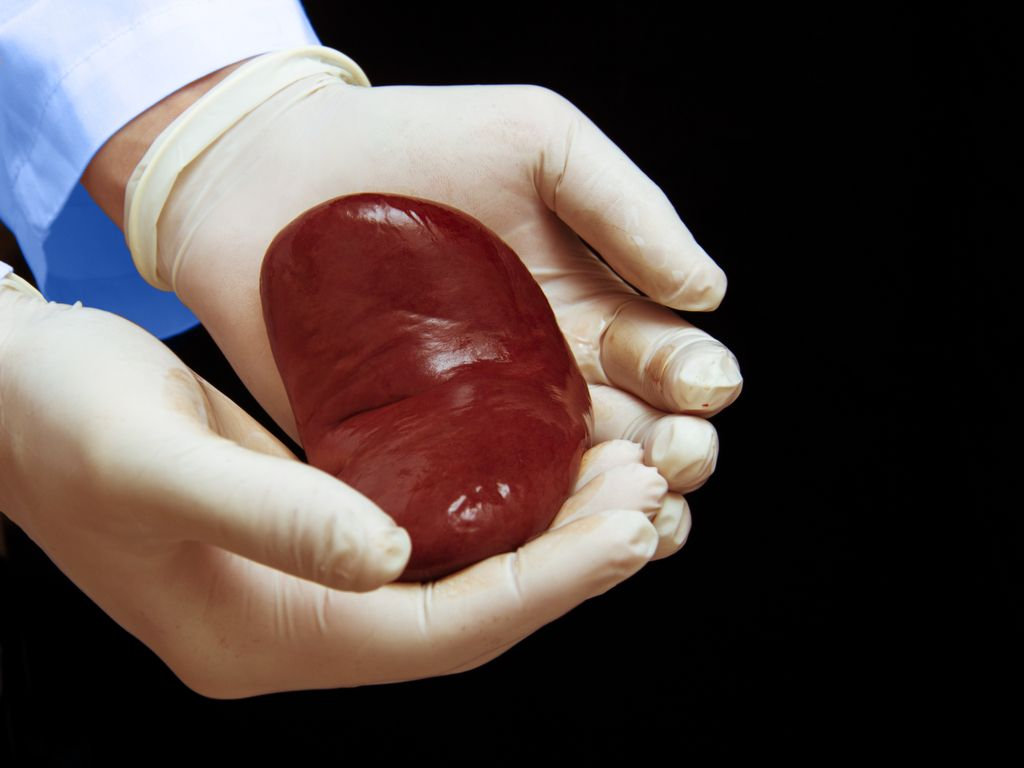 How Long Can Organs Stay Outside the Body Before Being Transplanted?
