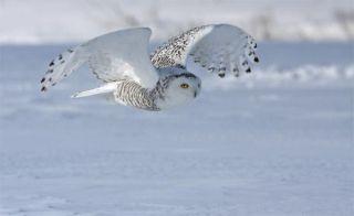 snowy-owl-110715-02