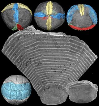 These images show Pseudooides, a fossil embryo smaller than a grain of sand. Long thought to represent the embryonic stage of an arthropod, this fossil is now revealed to be the first stage of development of an ancestor of today's jellyfish.