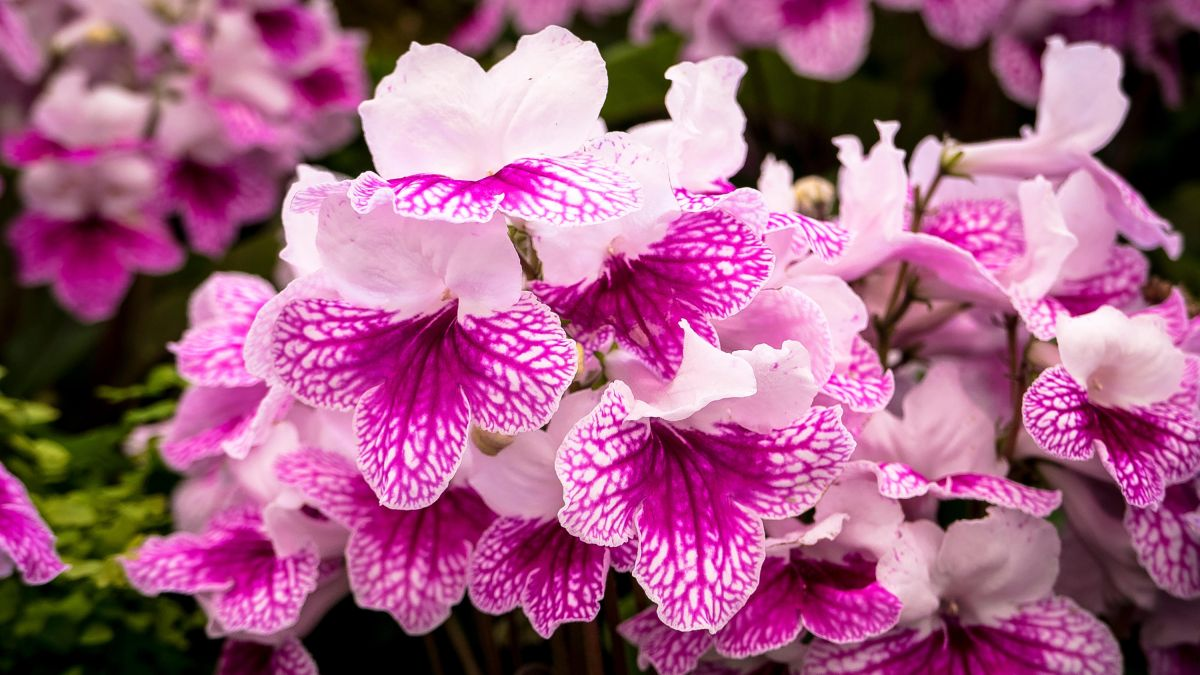 How to grow streptocarpus: add colour with these easy-to-grow Cape Primrose houseplants
