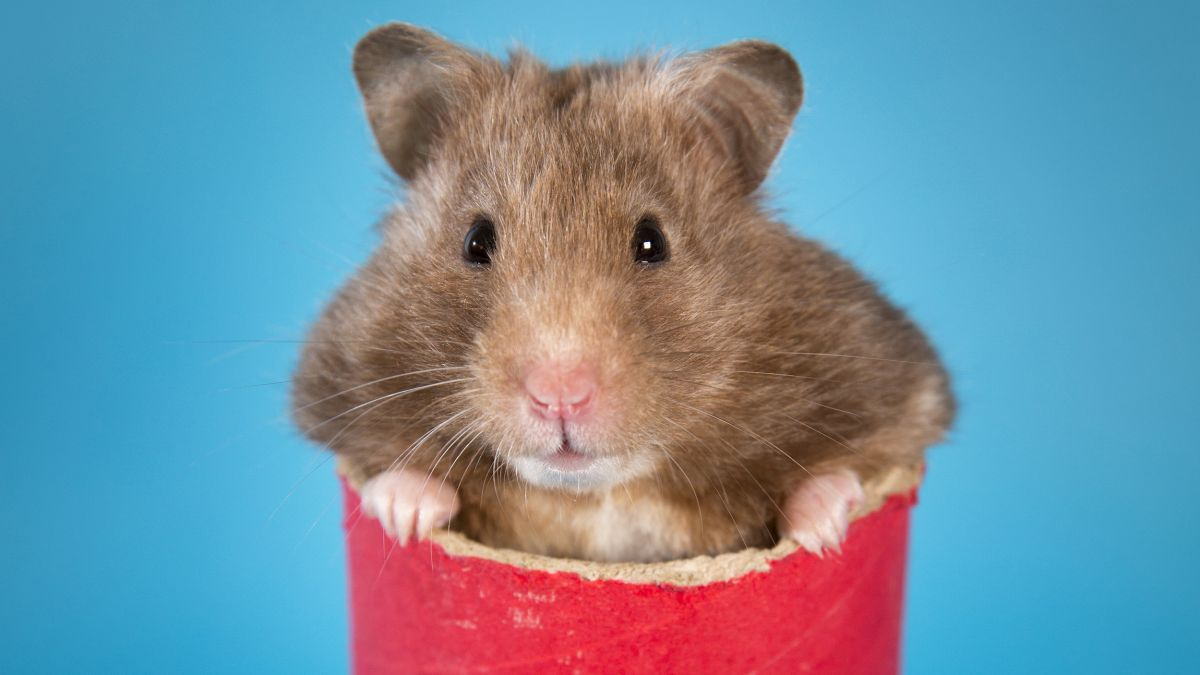 Home photography ideas: How to take great photos of hamsters