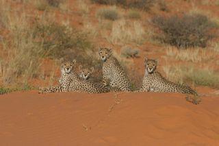 Cheetahs in desert