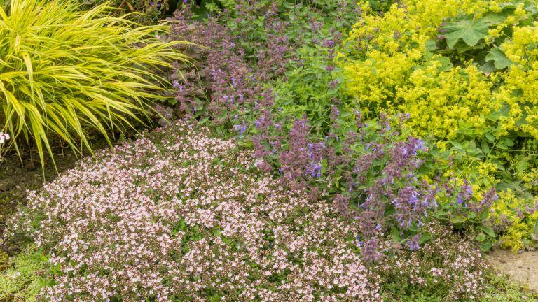 best low maintenance ground cover plants - Dwarf thyme and alchemilla mollis in a garden border