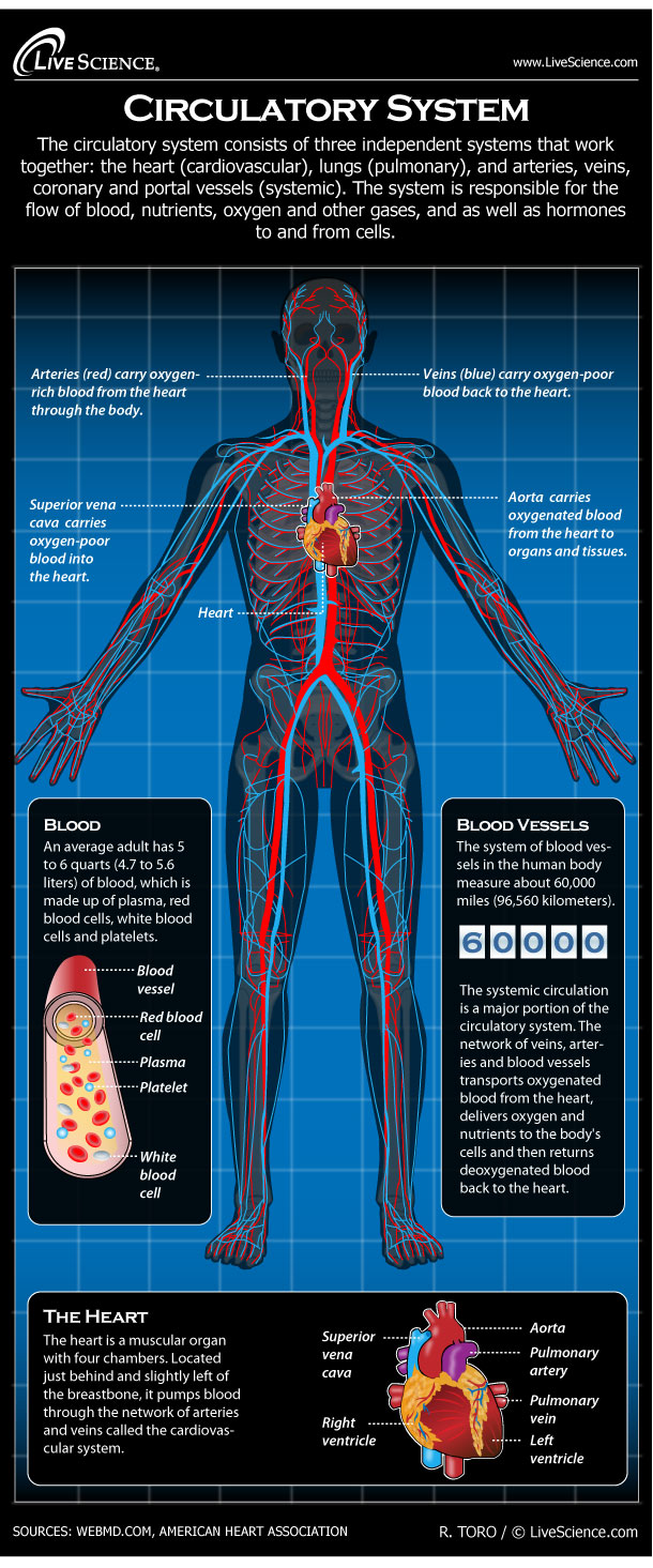 Human Circulatory System Diagram How It Works Live Science