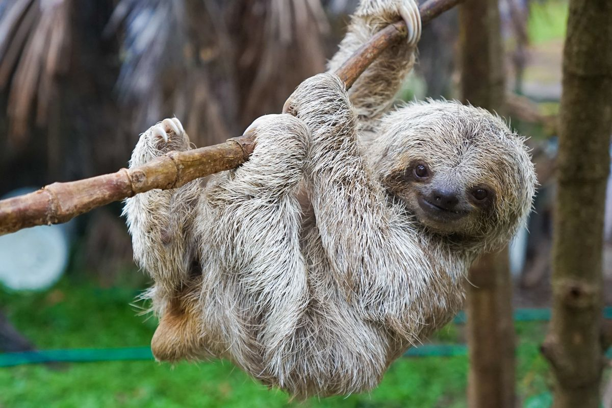 Sloths: The World's Slowest Mammals | Live Science