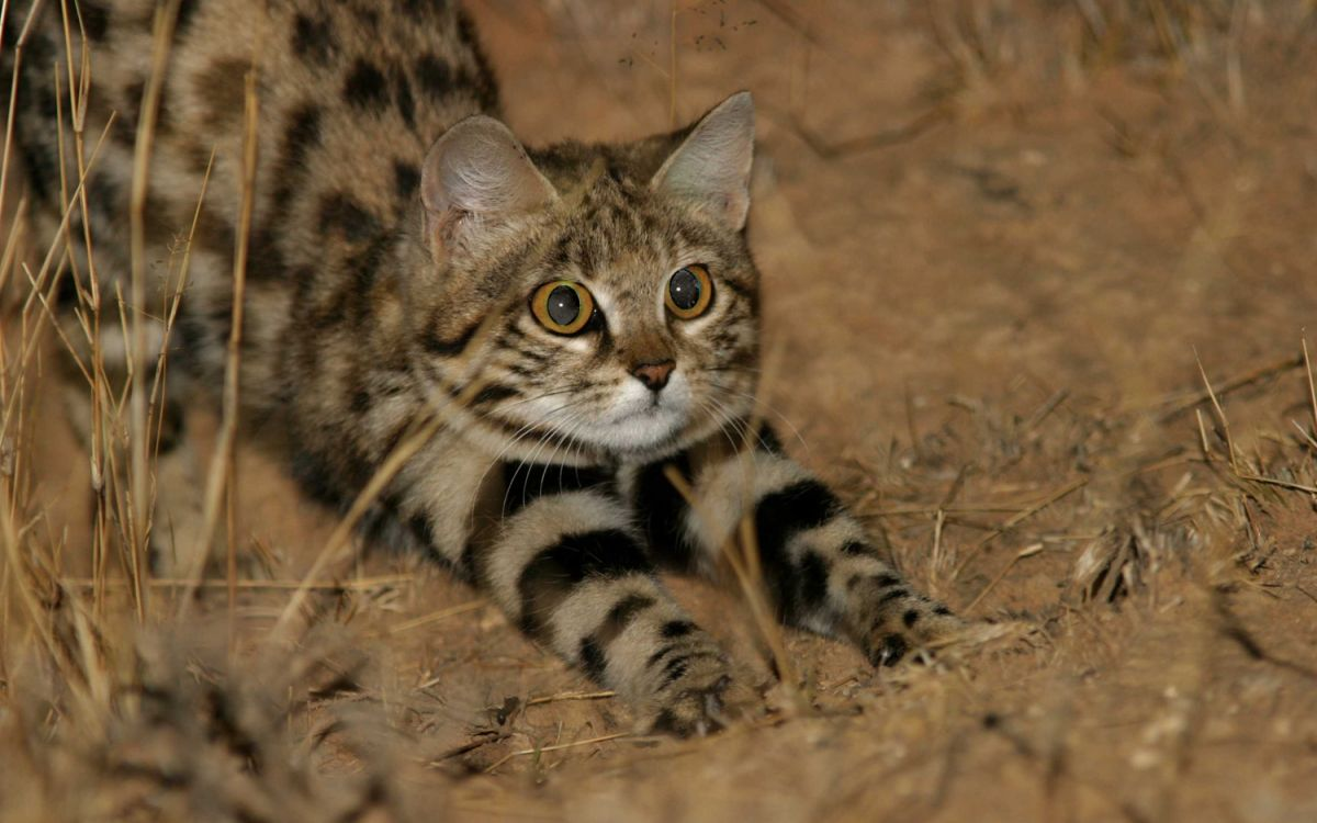 Adorable, Remorseless Killing Machine Is World's Deadliest Cat | Live  Science