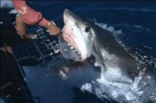 Film still from footage of shark expert Valerie Taylor hand-feeding a great white.