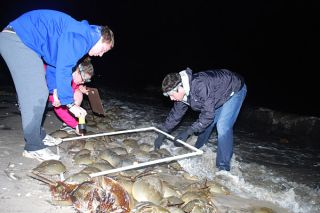 horseshoe crab census, where horseshoe crabs live, horseshoe crab breeding, university of Delaware marine science, animals