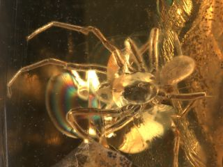 animals, insects, ancient insects, amber insects, ancient spider, ancient mite, phorsey, hitchhiking mite,