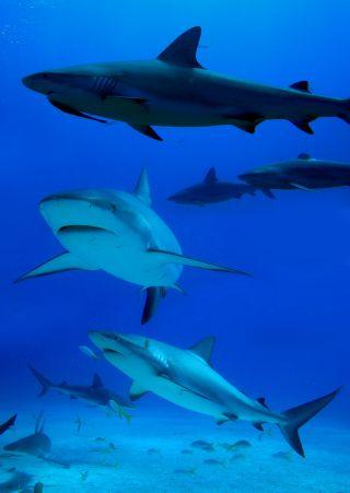sharks, animal behavior, caribbean reef sharks