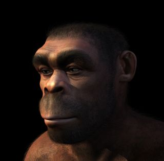 an artist's conception of what Homo erectus may have looked like.