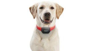 A labrador wearing the Petpuls Smart Dog Collar