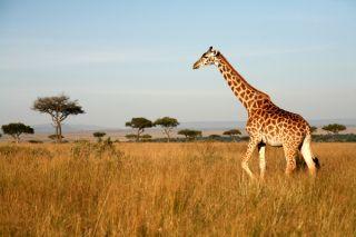 A giraffe walking through the grasslands in Masai Mara, Kenya.