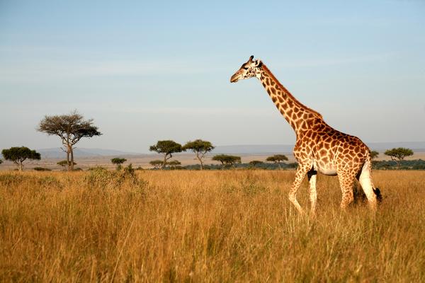 Giraffe Facts & Photos | Live Science