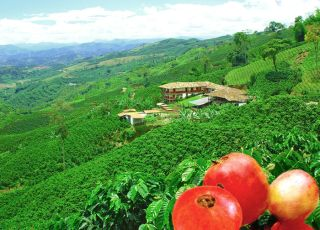 A Colombian coffee plantation