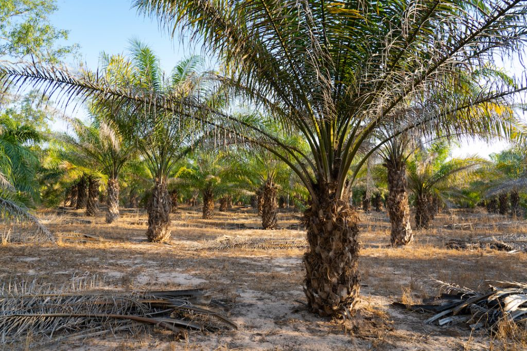 Photo showing palm trees in a palm oil plantation.