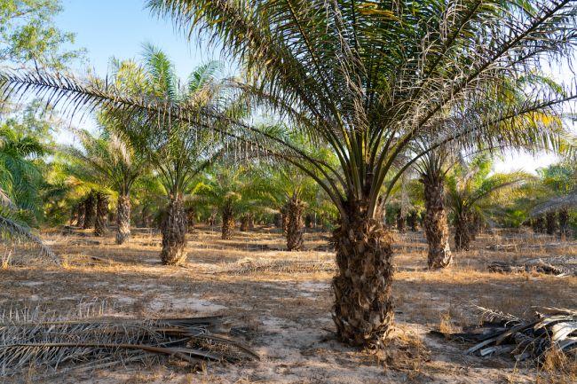 O que é óleo de palma, e por que o óleo de palma está em praticamente tudo?