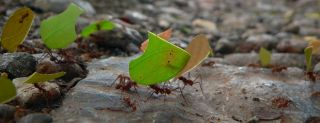 Ants carrying cut leaves, strength