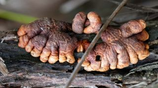 Scientists recently found that a fungus resembling zombies' fingers is more widespread in Australia than anyone suspected.