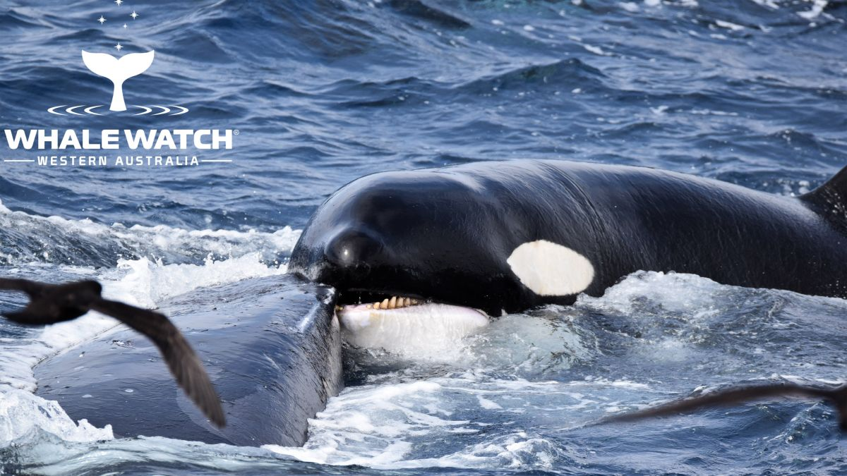 Humpback whale survives 4-hour attack by gang of orcas