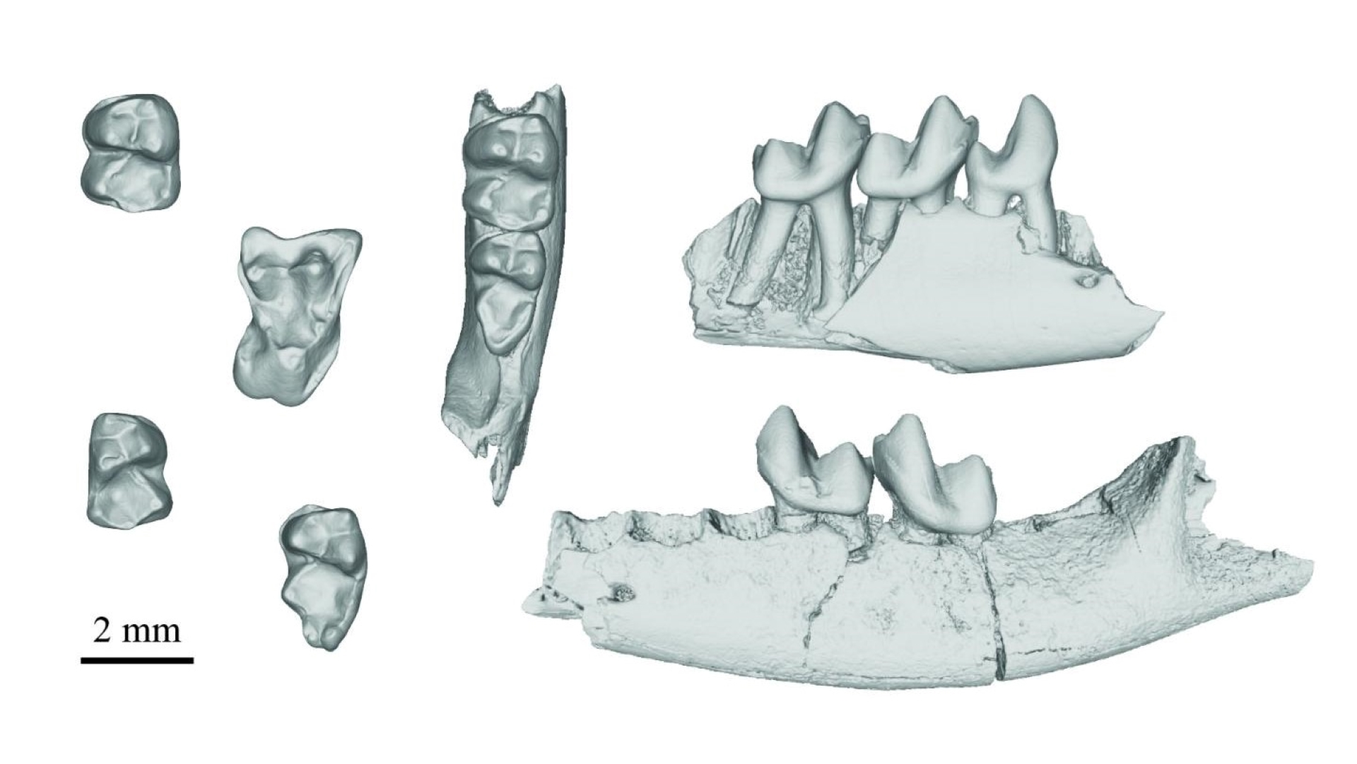 An image of several CT scans showing fossilized teeth and jaw bones from Purgatorius species.
