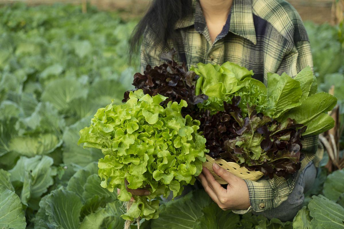 Learn how to grow lettuce