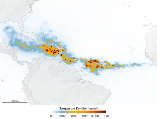 Data from NASA's Terra and Aqua satellites revealed the immense size of a record-breaking algal bloom known as the Great Atlantic Sargassum Belt.